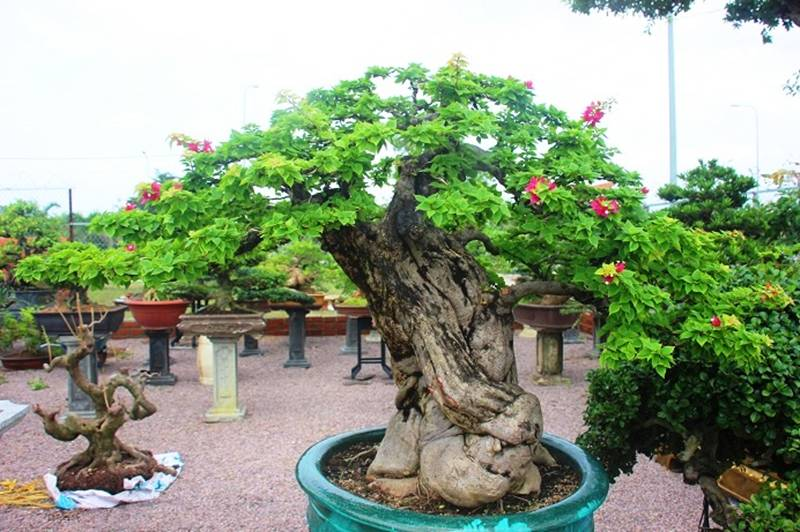 Bonsai cổ thụ dáng cực lạ giá cả trăm triệu ngóng đại gia dịp Tết-2