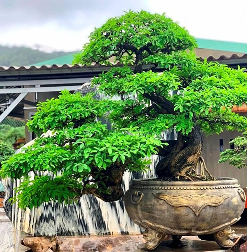 Bonsai cổ thụ dáng cực lạ giá cả trăm triệu ngóng đại gia dịp Tết-3