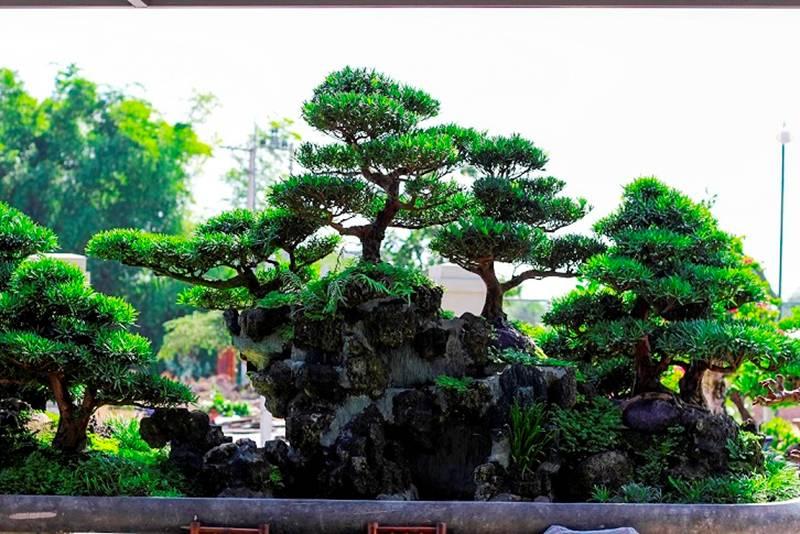 Bonsai cổ thụ dáng cực lạ giá cả trăm triệu ngóng đại gia dịp Tết-5