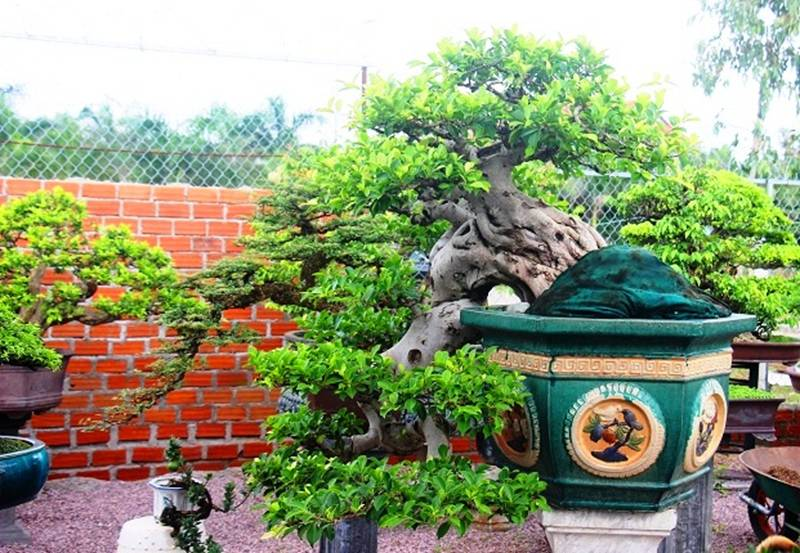 Bonsai cổ thụ dáng cực lạ giá cả trăm triệu ngóng đại gia dịp Tết-7