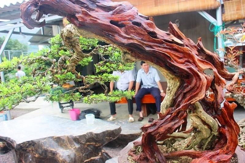 Bonsai cổ thụ dáng cực lạ giá cả trăm triệu ngóng đại gia dịp Tết-8