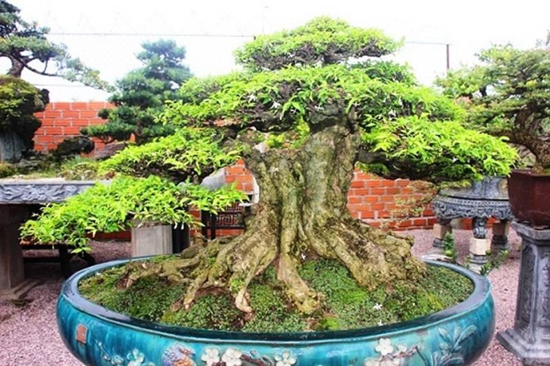 Bonsai cổ thụ dáng cực lạ giá cả trăm triệu ngóng đại gia dịp Tết-9