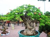 Bonsai cổ thụ dáng cực lạ giá cả trăm triệu ngóng