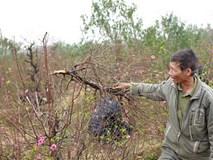 Vụ phá vườn đào Bắc Ninh: Chủ của vườn đào còn nguyên vẹn tự tử