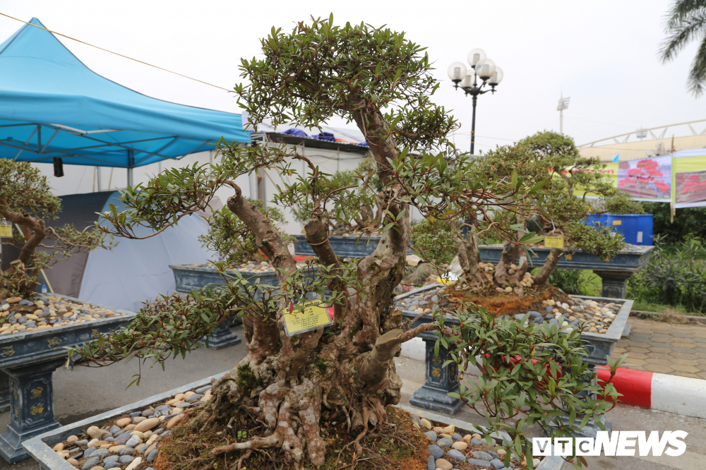 Cận cảnh cây đỗ quyên 400 năm tuổi có giá gần 1 tỷ đồng-1