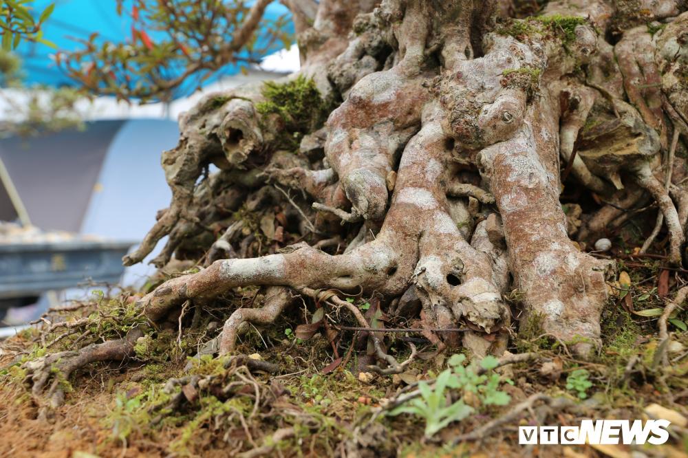 Cận cảnh cây đỗ quyên 400 năm tuổi có giá gần 1 tỷ đồng-2