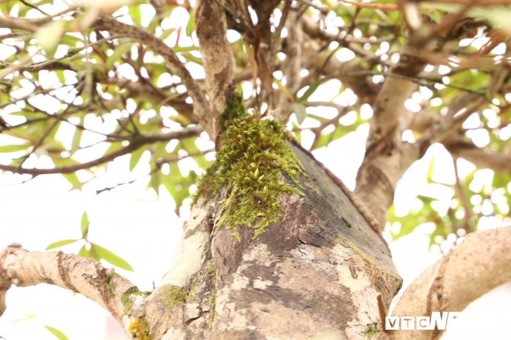 Cận cảnh cây đỗ quyên 400 năm tuổi có giá gần 1 tỷ đồng-5