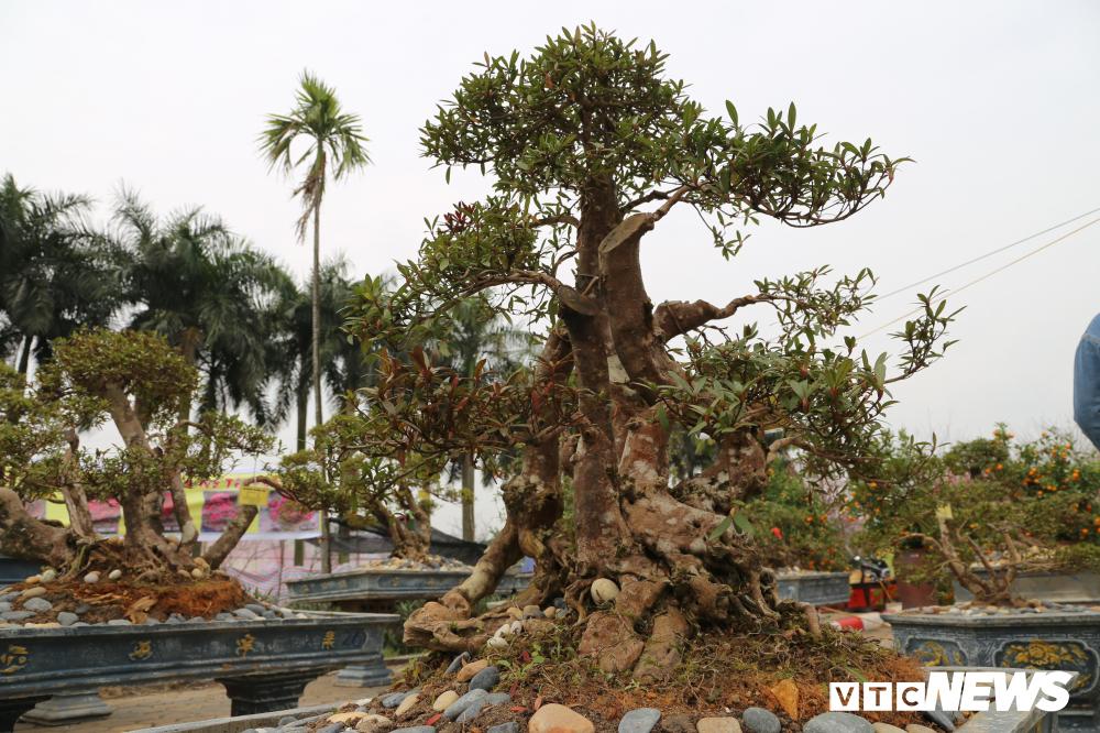Cận cảnh cây đỗ quyên 400 năm tuổi có giá gần 1 tỷ đồng-6