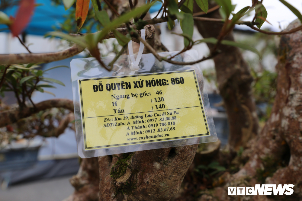 Cận cảnh cây đỗ quyên 400 năm tuổi có giá gần 1 tỷ đồng-7