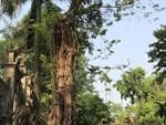 Chặt cây sưa trăm tỷ ở Hà Nội: Chẻ đôi khúc rễ, dân làng mất ngay chục tấn thóc-6