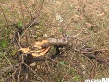 Chủ vườn đào chết, nghi tự tử: Người nhà từ chối khám nghiệm tử thi
