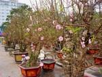Thực hư đào mini Trung Quốc ngập chợ Việt hét giá tiền triệu-4