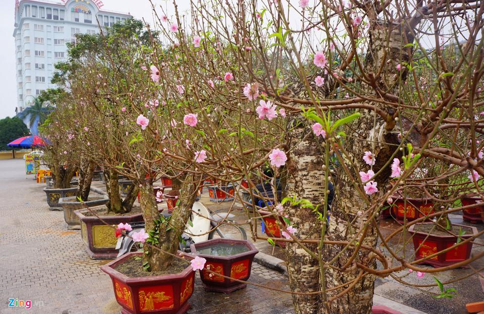 Gốc đào cổ thụ được hét giá 100 triệu ở chợ hoa Tết-1