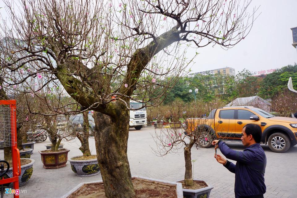 Gốc đào cổ thụ được hét giá 100 triệu ở chợ hoa Tết-2