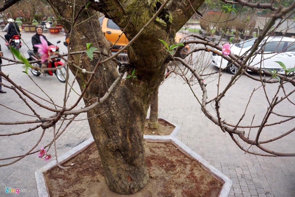 Gốc đào cổ thụ được hét giá 100 triệu ở chợ hoa Tết-3