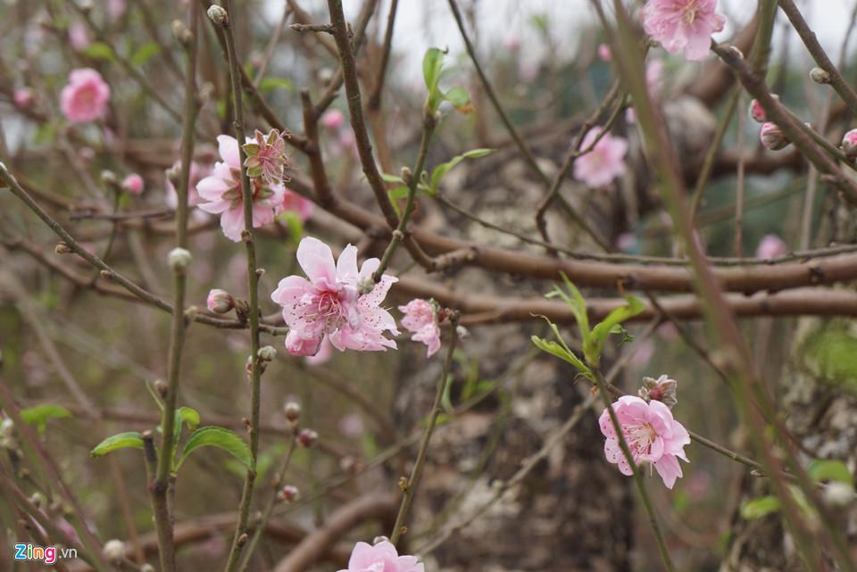Gốc đào cổ thụ được hét giá 100 triệu ở chợ hoa Tết-7