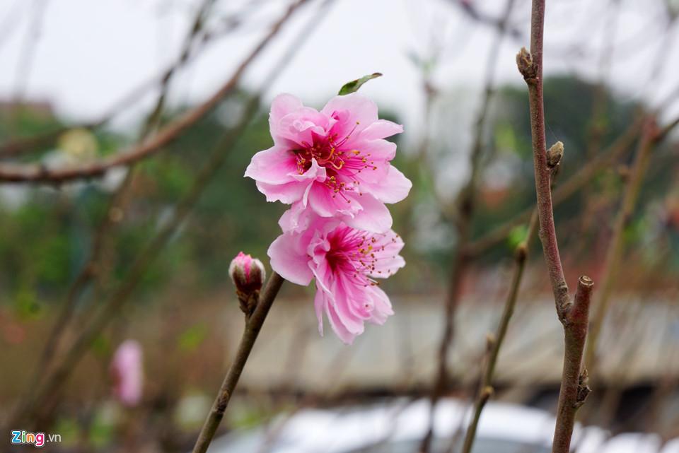 Gốc đào cổ thụ được hét giá 100 triệu ở chợ hoa Tết-5