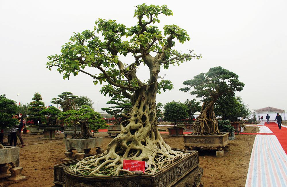 Cây bồ đề trăm tuổi độc nhất Việt Nam, đại gia đặt 2 tỷ không mua nổi-1