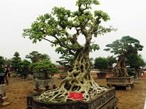 Cây bồ đề trăm tuổi độc nhất Việt Nam, đại gia đặt 2 tỷ không mua nổi