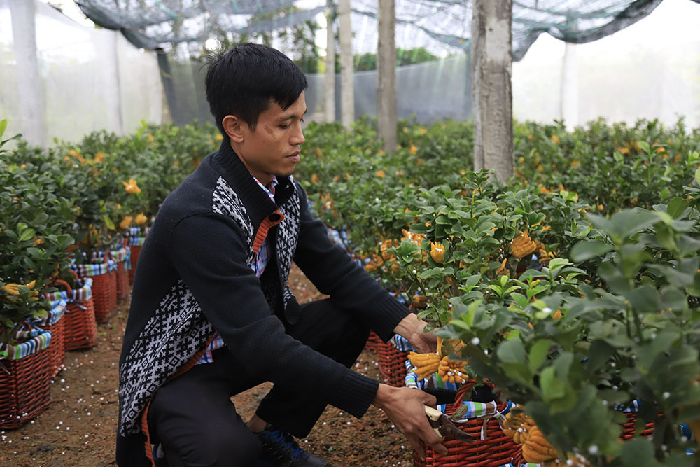 Lạ kỳ bàn tay Phật trên chậu cây mini, anh nông dân thu tiền tỷ-10