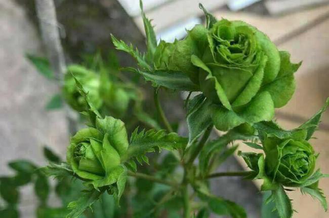 Tết này, giới chơi cây lại sốt xình xịch với loại hoa hồng có màu xanh như lá-1