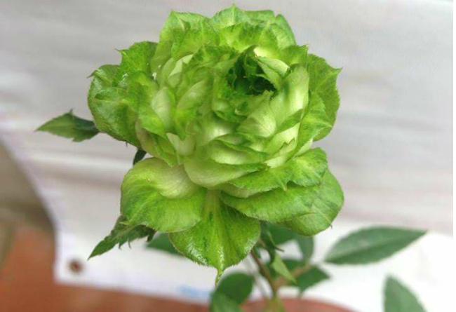 Tết này, giới chơi cây lại sốt xình xịch với loại hoa hồng có màu xanh như lá-11