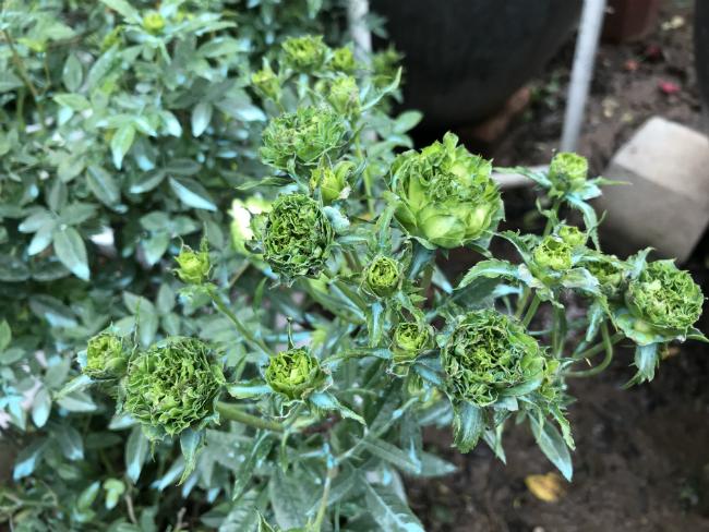 Tết này, giới chơi cây lại sốt xình xịch với loại hoa hồng có màu xanh như lá-3