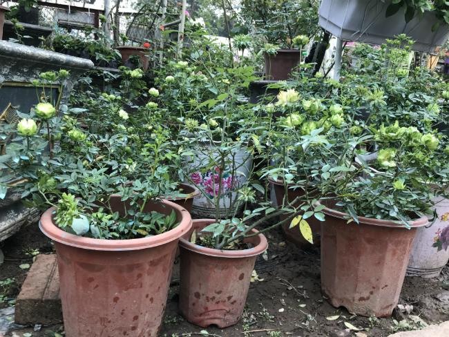 Tết này, giới chơi cây lại sốt xình xịch với loại hoa hồng có màu xanh như lá-4