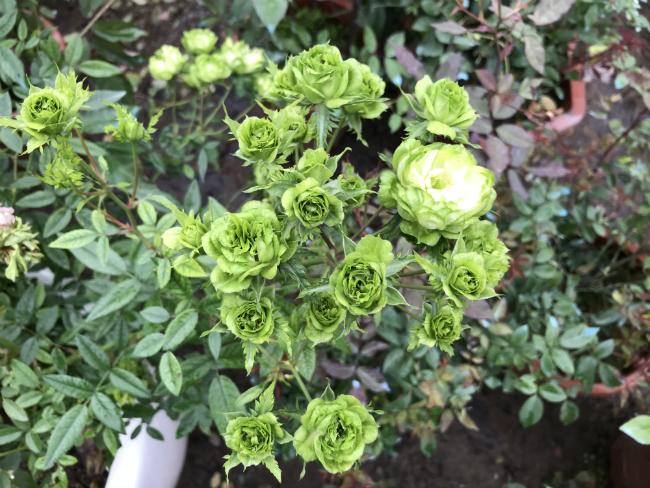 Tết này, giới chơi cây lại sốt xình xịch với loại hoa hồng có màu xanh như lá-8