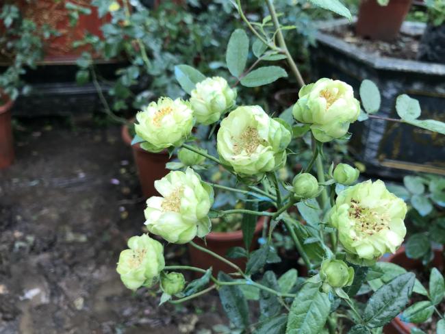 Tết này, giới chơi cây lại sốt xình xịch với loại hoa hồng có màu xanh như lá-12