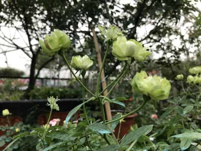 Tết này, giới chơi cây lại sốt xình xịch với loại hoa hồng có màu xanh như lá-15