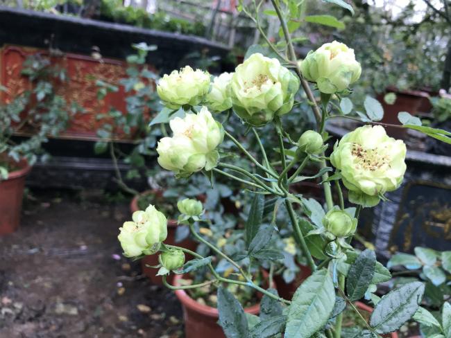Tết này, giới chơi cây lại sốt xình xịch với loại hoa hồng có màu xanh như lá-16