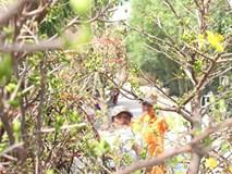 Cận Tết, thương lái đổ về làng mai mới nổi ở ngoại ô Sài Gòn
