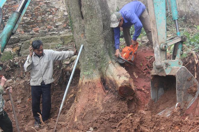 Chặt cây sưa trăm tỷ ở Hà Nội: Chẻ đôi khúc rễ, dân làng mất ngay chục tấn thóc-3