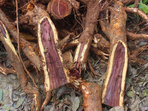 Chặt cây sưa trăm tỷ ở Hà Nội: Chẻ đôi khúc rễ, dân làng mất ngay chục tấn thóc-1