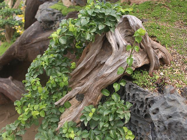 Độc đáo mai vàng khoe sắc trên thân cây chết giá gần tỷ đồng-8