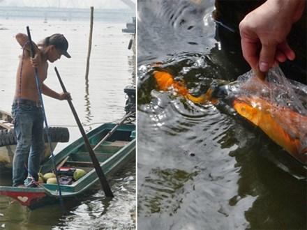 Khổ như cá chép ngày tiễn ông Táo: Vừa được phóng sinh đã bị