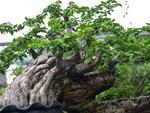 Vườn cẩm cù 10.000 cây đủ loại rực rỡ khoe sắc của cô giáo Hà Nội-8