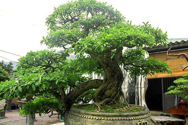 Ngắm vườn bonsai cực chất giá trăm tỷ đồng ở Bình Định-1