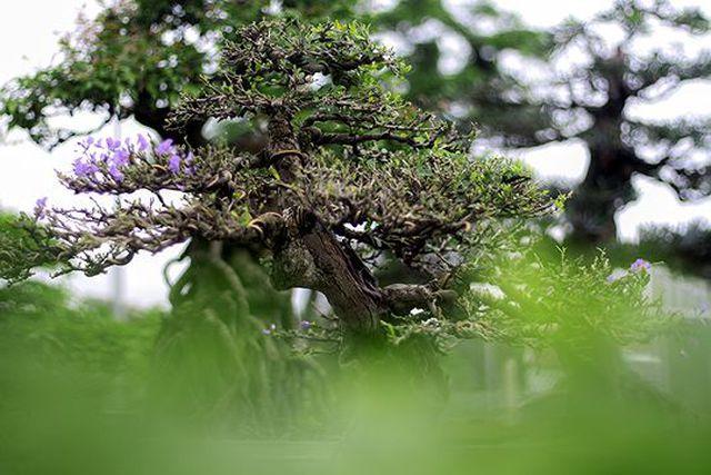 Ngắm vườn bonsai cực chất giá trăm tỷ đồng ở Bình Định-11