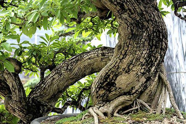 Ngắm vườn bonsai cực chất giá trăm tỷ đồng ở Bình Định-2