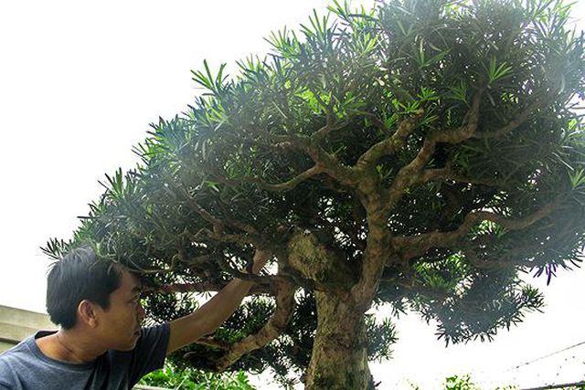 Ngắm vườn bonsai cực chất giá trăm tỷ đồng ở Bình Định-3