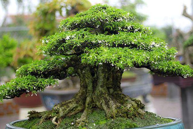 Ngắm vườn bonsai cực chất giá trăm tỷ đồng ở Bình Định-4