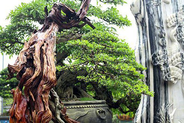 Ngắm vườn bonsai cực chất giá trăm tỷ đồng ở Bình Định-5