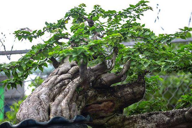Ngắm vườn bonsai cực chất giá trăm tỷ đồng ở Bình Định-6