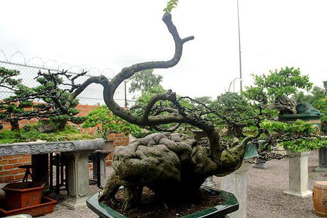 Ngắm vườn bonsai cực chất giá trăm tỷ đồng ở Bình Định-7