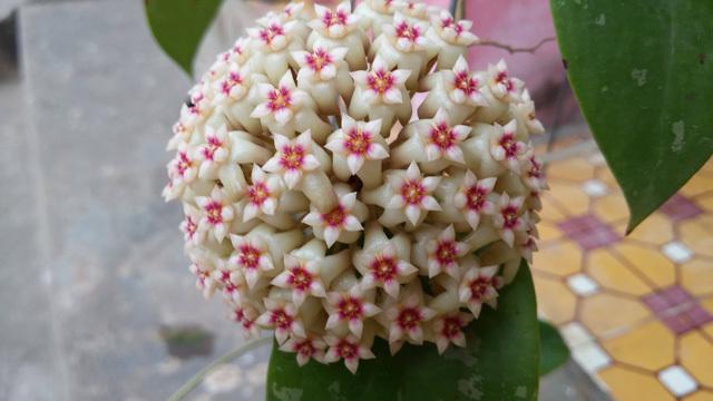 Vườn cẩm cù 10.000 cây đủ loại rực rỡ khoe sắc của cô giáo Hà Nội-4