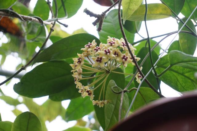 Vườn cẩm cù 10.000 cây đủ loại rực rỡ khoe sắc của cô giáo Hà Nội-5
