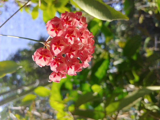 Vườn cẩm cù 10.000 cây đủ loại rực rỡ khoe sắc của cô giáo Hà Nội-7