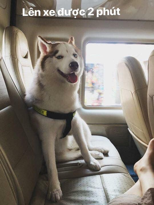 Theo chủ về quê ăn Tết, chú chó say xe tới mềm nhũn nhưng dân mạng lại bật cười vì 1 điều-1